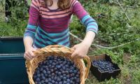 A damsel with her damsons.JPG